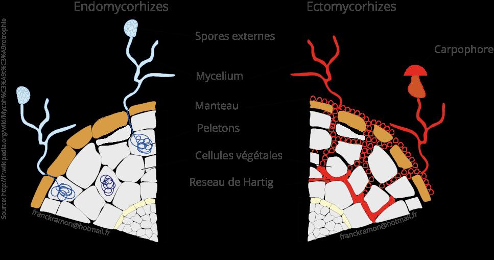 deux-types-de-mycorhizes-que-sont-les-champignons-classification