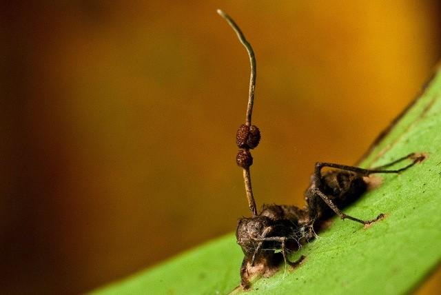 Fourmi terrassée par Cordyceps unilateralis - Que sont les champignons - Quelle classification ?