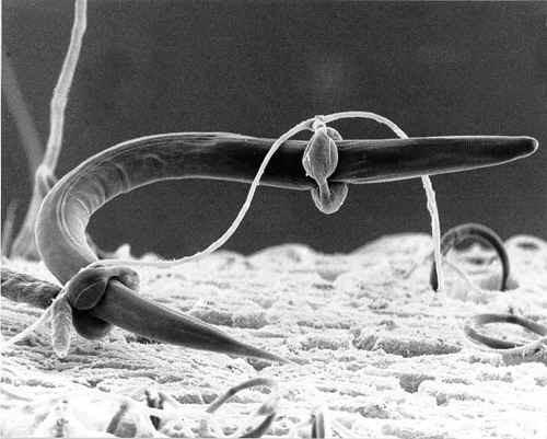 nematode-et-arthrobotrys-que-sont-les-champignons-classification