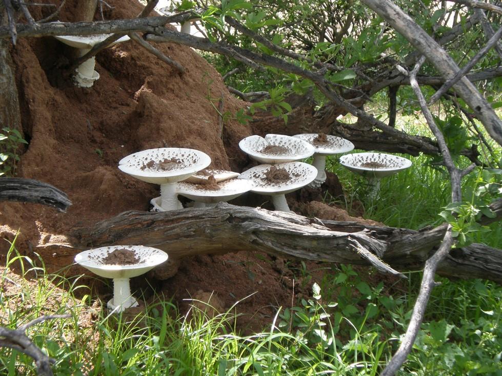 sporophore-de-termitomyces-que-sont-les-champignons-classification