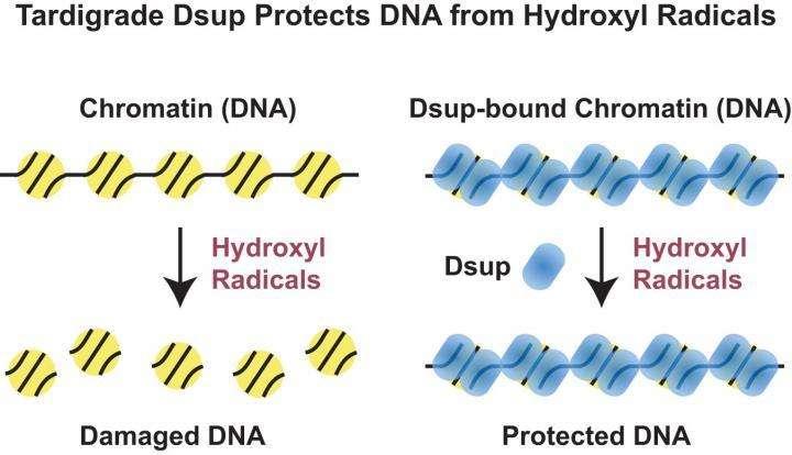 tardigrades-proteine-dsup-lepangolin-com