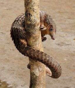 lepangolincom-pangolin-longue-queue