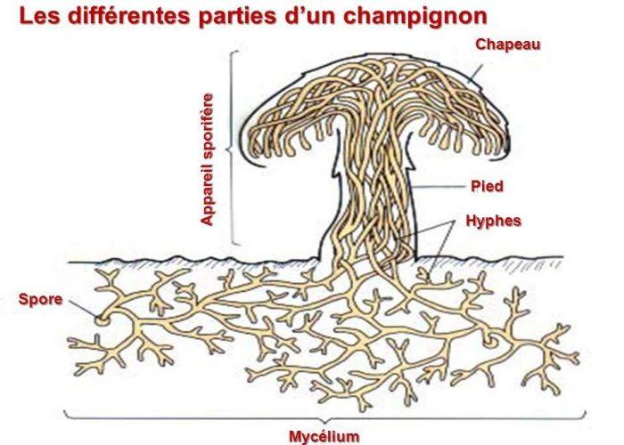 assemblage-hyphes-que-sont-les-champignons